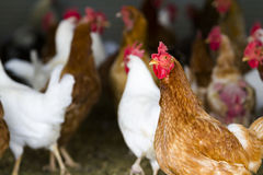 Free range chickens Stock Photography