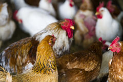 Free range chickens Royalty Free Stock Images