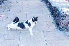 Free-running γάτα Στοκ Εικόνες