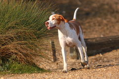 Free running German Shorthaired Pointer Stock Image
