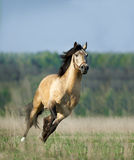 Free running lusitano horse Royalty Free Stock Photos