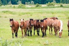 Free running wild horses on a meadow. Country midlands landscape with group of animals. stock image