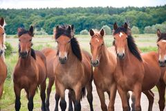 Free running wild horses on a meadow. Country midlands landscape with group of animals. stock photography