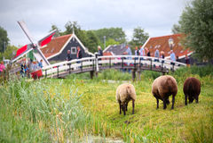 Free sheep grazing in Zaandam, Netherlands Royalty Free Stock Images