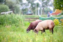 Free sheep grazing in Zaandam, Netherlands Stock Images