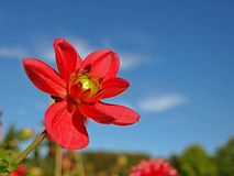 Free space in blue sky with a red dahlia flower stock photo