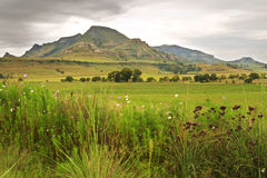 Free State hills with cosmos flowers in foreground Royalty Free Stock Image