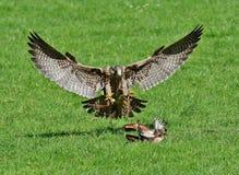 Free stock photo of bird, fauna, ecosystem, bird of prey Stock Photography