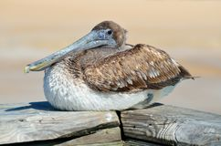 Free stock photo of bird, pelican, seabird, beak Stock Images