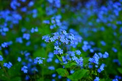 Free stock photo of blue, flower, forget me not, plant Royalty Free Stock Image