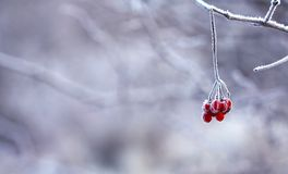 Free stock photo of branch, freezing, winter, close up Royalty Free Stock Photography
