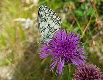 Free stock photo of butterfly, moths and butterflies, brush footed butterfly, flower Stock Image