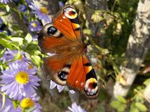Free stock photo of butterfly, moths and butterflies, insect, brush footed butterfly Stock Photography