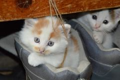 Free stock photo of cat, small to medium sized cats, mammal, cat like mammal Royalty Free Stock Image