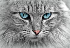 Free stock photo of cat, whiskers, face, eye Royalty Free Stock Photography