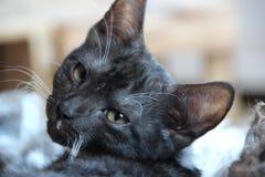 Free stock photo of cat, whiskers, mammal, small to medium sized cats Stock Photos