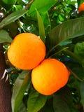 Free stock photo of citrus, fruit, bitter orange, valencia orange Royalty Free Stock Images