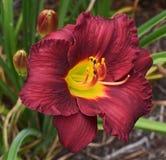 Free stock photo of daylily, flora, petal, wildflower Stock Image