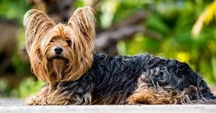 Free stock photo of dog, dog like mammal, dog breed, australian silky terrier Stock Images