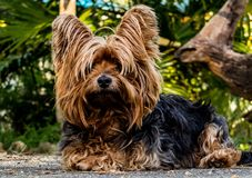 Free stock photo of dog, dog like mammal, dog breed, yorkshire terrier Royalty Free Stock Photography