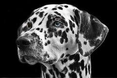 Free stock photo of dog like mammal, dog, black and white, black Royalty Free Stock Photo