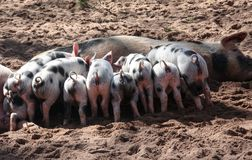 Free stock photo of domestic pig, pig, pig like mammal, fauna Stock Images