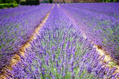 Free stock photo of english lavender, lavender, field, purple Royalty Free Stock Photos