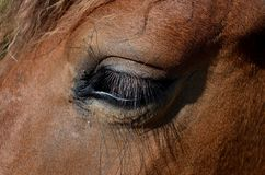 Free stock photo of eye, mane, nose, close up Stock Photo