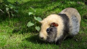 Free stock photo of fauna, guinea pig, rodent, grass Stock Image