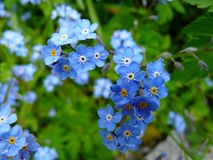 Free stock photo of flower, blue, flowering plant, forget me not Royalty Free Stock Image