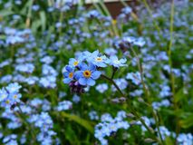 Free stock photo of flower, blue, forget me not, plant Royalty Free Stock Image