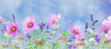 Free stock photo of flower, garden cosmos, wildflower, flowering plant Stock Image