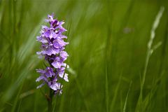 Free stock photo of flower, plant, flora, lavender Royalty Free Stock Image