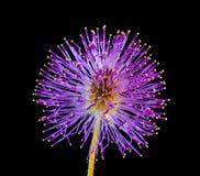 Free stock photo of flower, purple, violet, silybum Royalty Free Stock Photos
