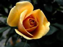 Free stock photo of flower, rose, rose family, yellow Royalty Free Stock Image