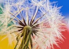 Free stock photo of flower, sky, dandelion, flora Royalty Free Stock Photo