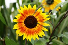 Free stock photo of flower, sunflower, sunflower seed, flora Stock Photography