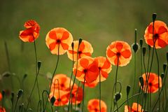 Free stock photo of flower, wildflower, poppy, flora Royalty Free Stock Photo