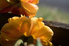 Free stock photo of flower, yellow, flora, petal Stock Photo
