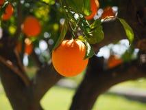 Free stock photo of fruit, citrus, fruit tree, orange Stock Images