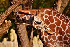 Free stock photo of giraffe, terrestrial animal, fauna, wildlife Royalty Free Stock Images