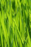 Free stock photo of grass, green, field, grass family Stock Photography