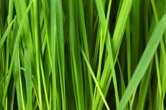 Free stock photo of grass, green, grass family, leaf Royalty Free Stock Photography