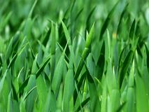 Free stock photo of grass, green, grass family, plant Royalty Free Stock Photography