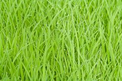 Free stock photo of grass, green, grass family, plant Stock Images