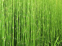 Free stock photo of green, grass, vegetation, grass family Stock Image