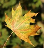 Free stock photo of leaf, maple leaf, autumn, deciduous Royalty Free Stock Image