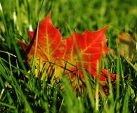 Free stock photo of leaf, maple leaf, autumn, grass Royalty Free Stock Photos