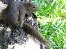 Free stock photo of mammal, fauna, squirrel, terrestrial animal Stock Photography