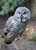 Free stock photo of owl, great grey owl, bird, beak Royalty Free Stock Image